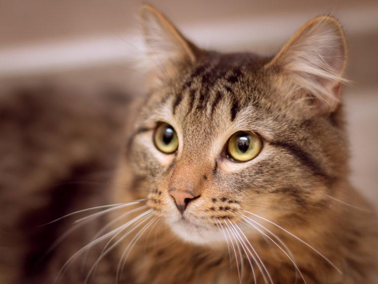 """Koje bolesti su """"tihe"""" ubice mačaka"""